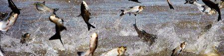 jumping carp